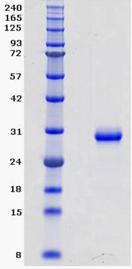 Proteros Product Image - BTK (human) (389-659) (C481S)
