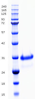 Proteros Product Image - Cathepsin B (human) (18-339)