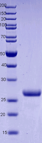 Proteros Product Image - Cathepsin H (human) (23-335)