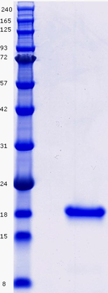 Proteros Product Image - Cyclophilin D (human) (44-207) (K175I)