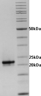 Proteros Product Image - HCV NS3-4a (1-181)