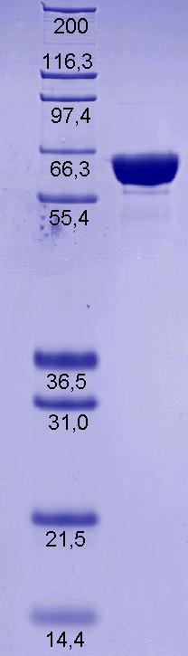 Proteros Product Image - DNA-Topoisomerase I (E.coli) (1-592)