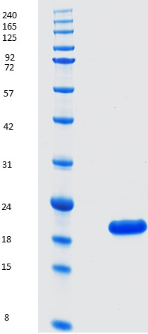 Proteros Product Image - Bcl-2 (human) (3-207) -delta(35-91) DVEENRTEAPEGTESE