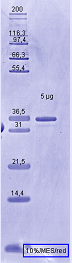 Proteros Product Image - B-Raf (human) (432-725) (V600E)