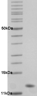 Proteros Product Image - HDM4 (human) (13-115)