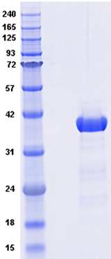 Proteros Product Image - Dot1L (human)  (1-351)